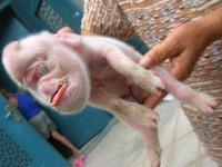 Поросенок с головой обезьяны