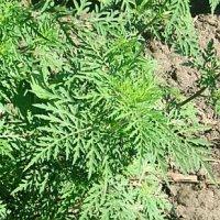 Сорняки угрожают урожаю Приморья