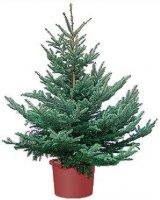 Вырастить дома елку