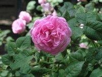Розы гибнут от мороза
