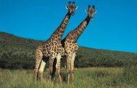 Жирафы. Пятнистые великаны саванны.