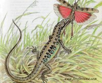 Малоазиатская ящерица (Lacerta prava)