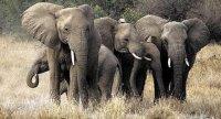 Слоны общаются на тайном языке