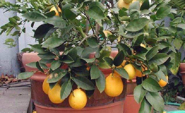 Как следствие такого поворота листья лимона могут опасть, точно так же как и при погрешностях ухода.