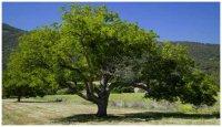 Деревья - борцы за чистоту атмосферы?