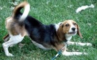 Миф о собаке, виляющей хвостом