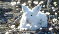 Арктический заяц-беляк - Lepus arcticus