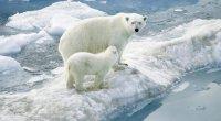 Белые медведи - исчезающий вид